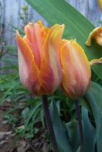 Tulip 1 Tulipa