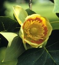Tulip poplar Liriodendron tulipifera