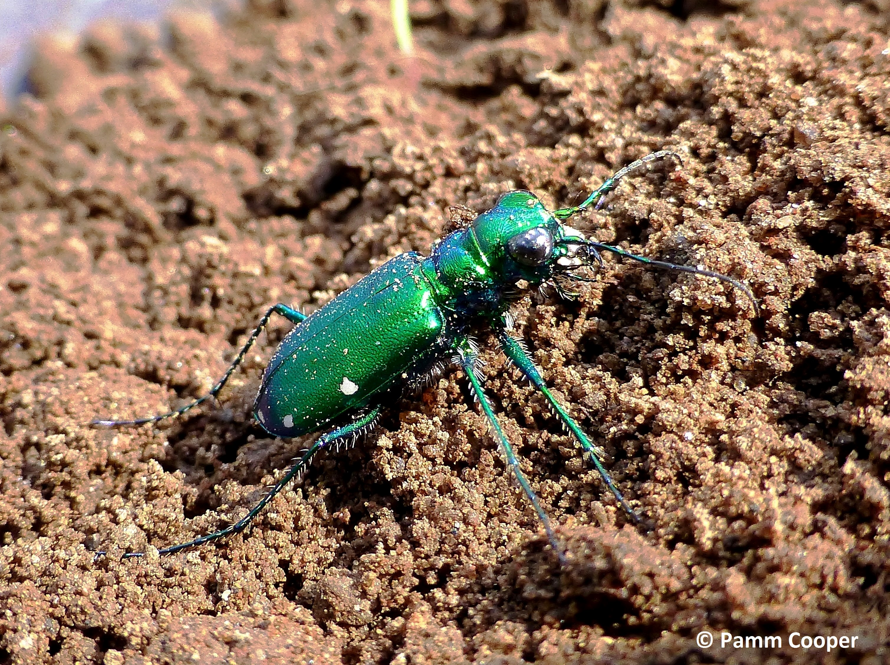 6-spotted tiger beetle