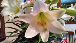 Easter lily 4