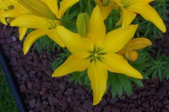 Lilium asiatic 1