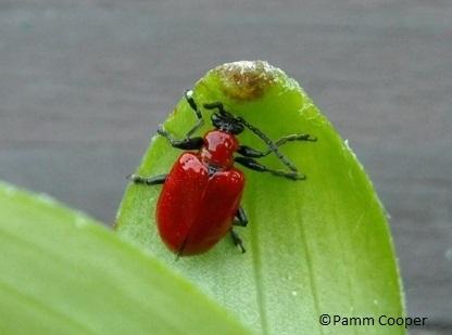 lilt-leaf-beetle_8_985960008