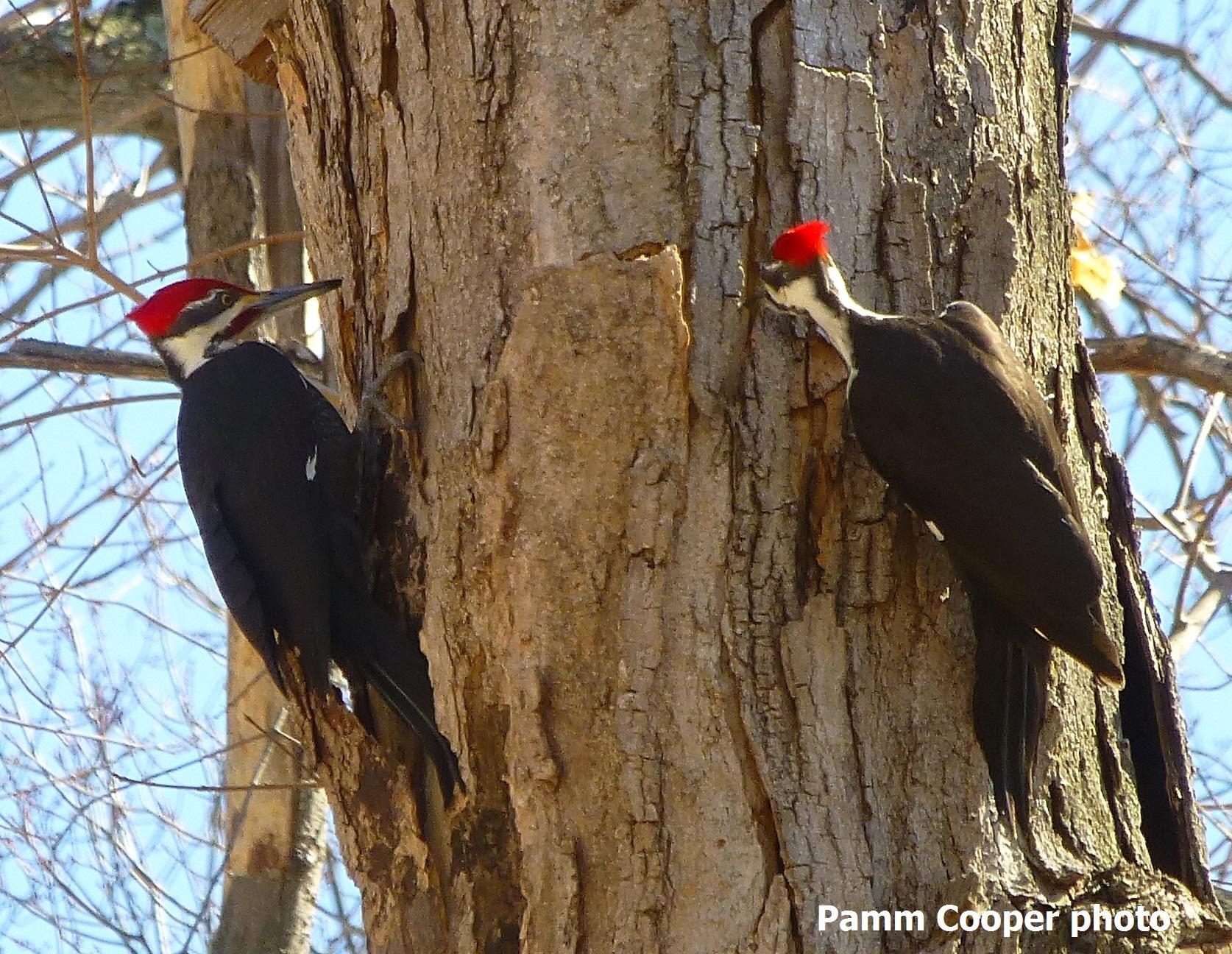 Pileated woodpecker pamm Cooper photo