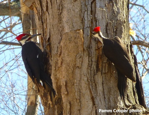 Pileated woodpecker pamm Cooper photo