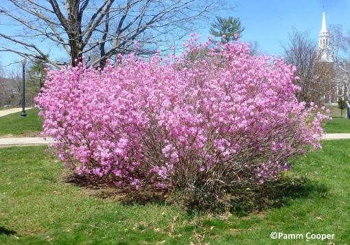 Rhododendron mucronulatum. Azalea Pamm Cooper photo (2)