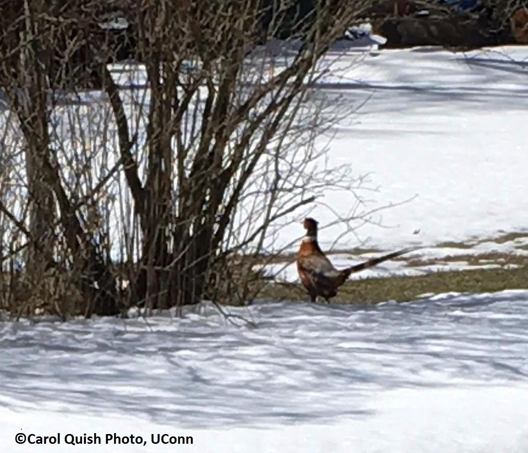ringneck pheasant in early spring
