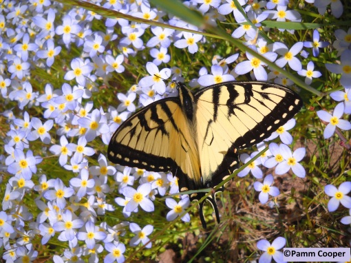 tiger swallowtail butterfly on bluets Pamm Cooper photo