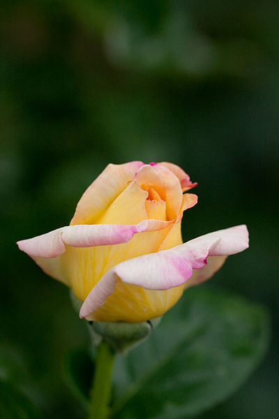 400px-Rose,_Peace_-_Flickr_-_nekonomania bud