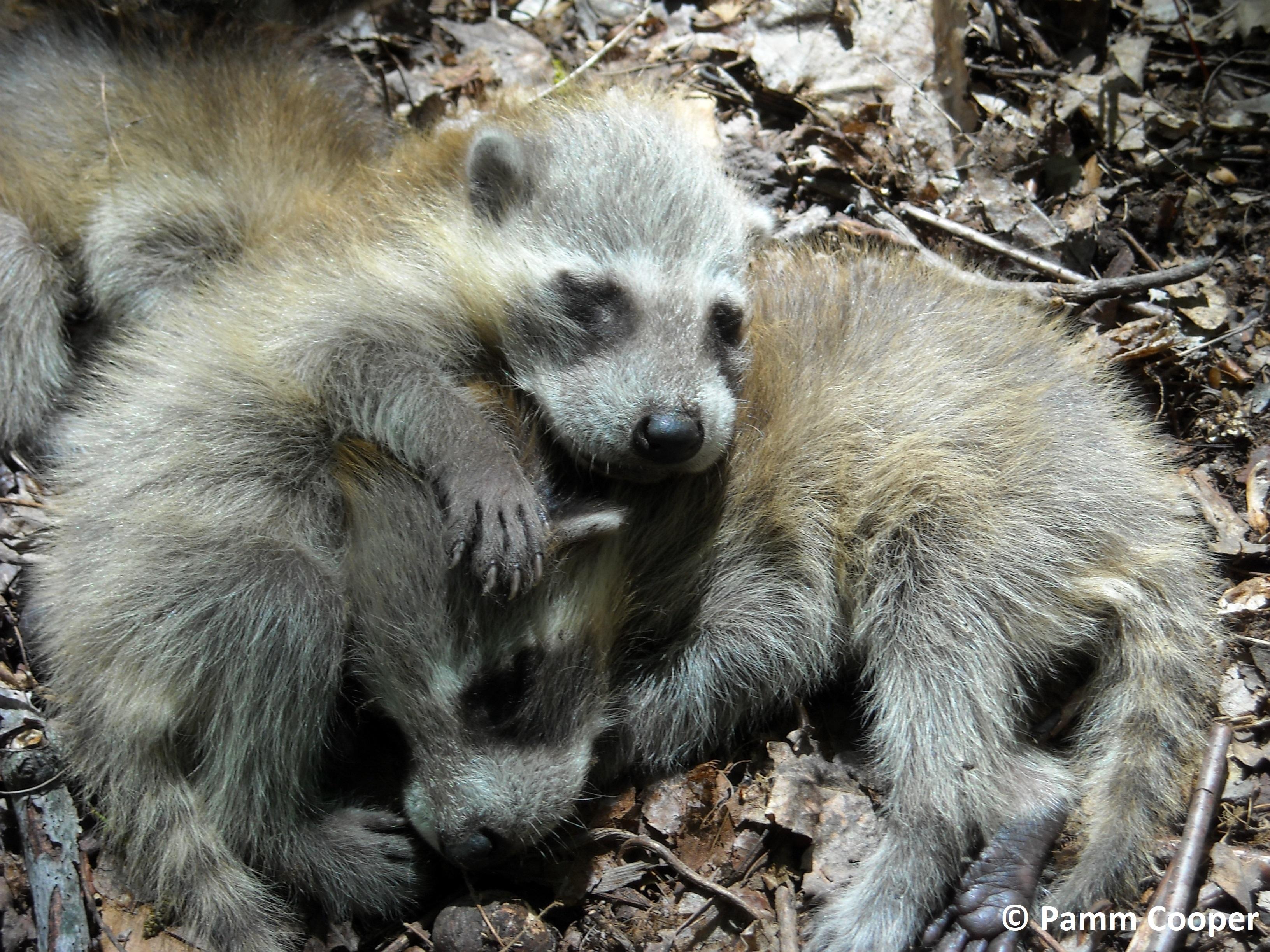 baby raccoons June 2