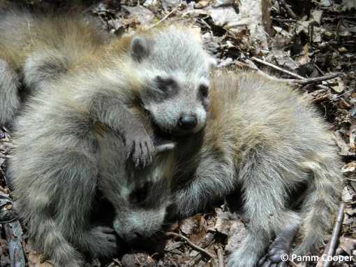 baby raccoons June 2