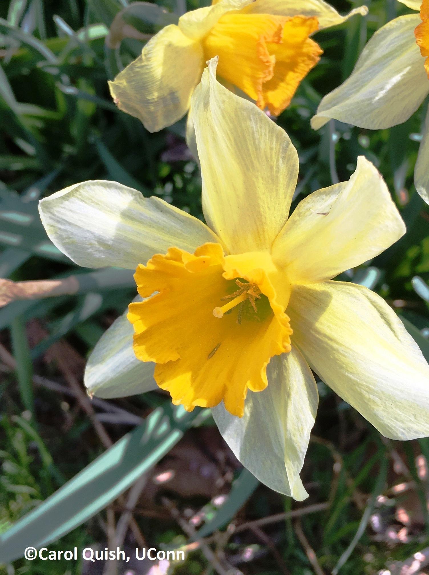 daff, white and yellow 1