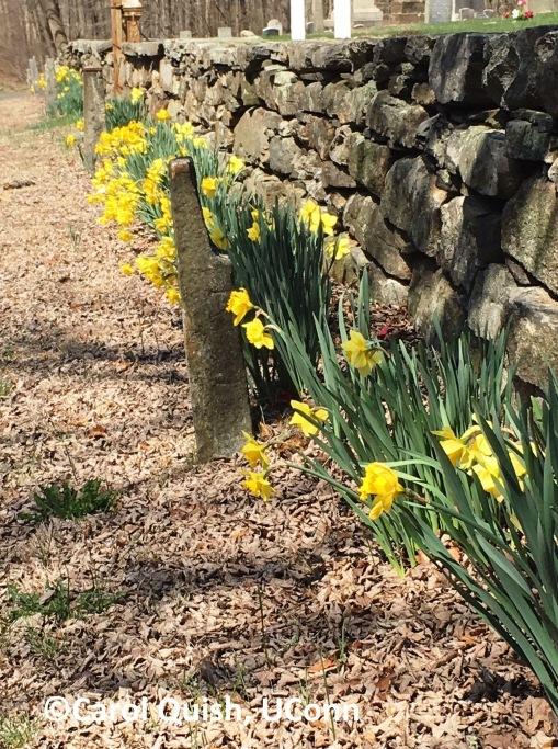 daffodil, stone wall