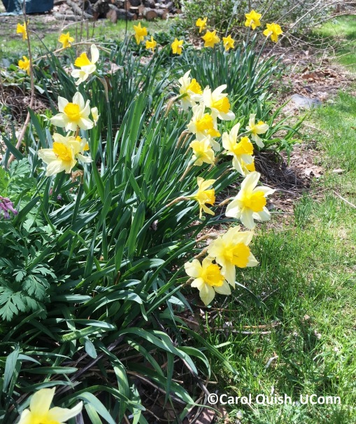 daffs, back yard