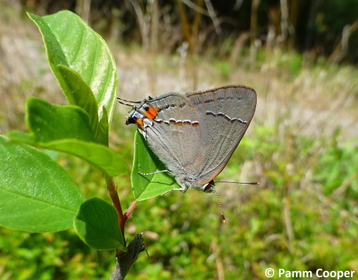 first gray hairstreak seen 2018 May 15