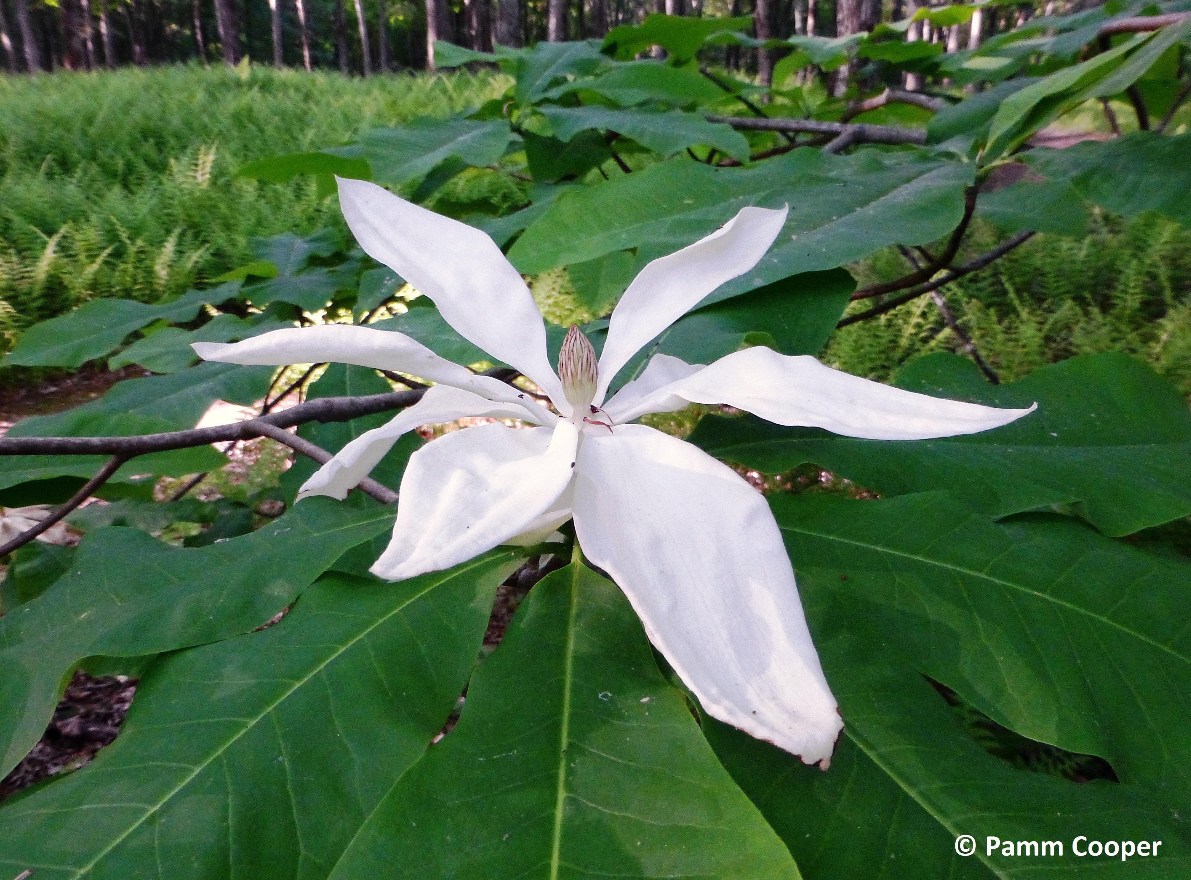 Fraser Magnolia