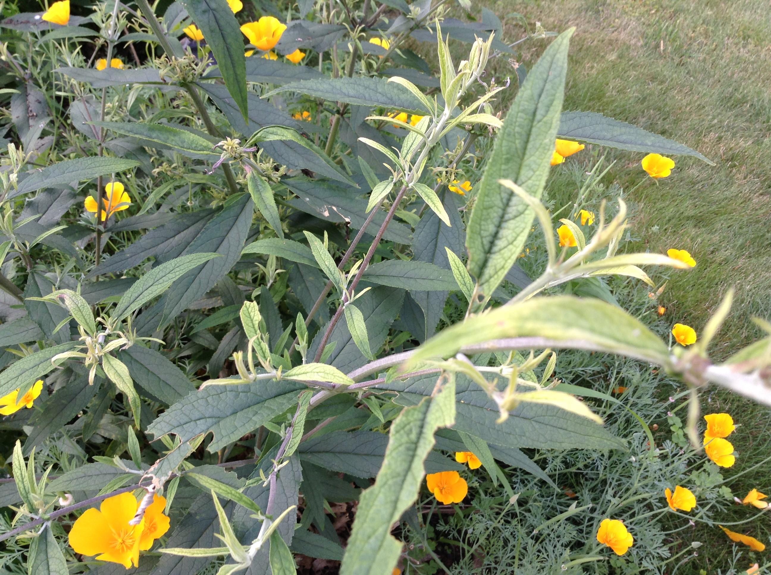 Iron deficiency on buddleia