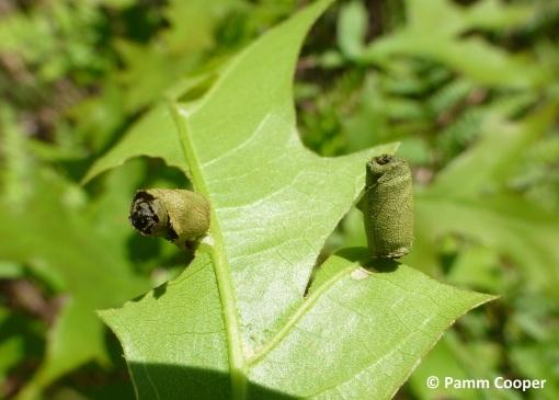 leaf rolling weevil Homoeolabus analis