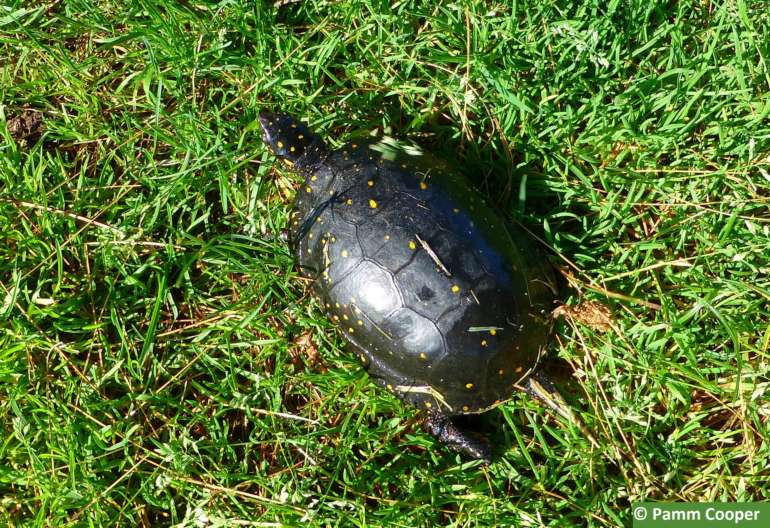 spotted turtle with constellation of spots May 30 2018