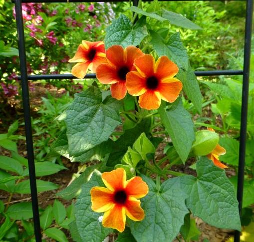 tangerine slice Thunbergia alata