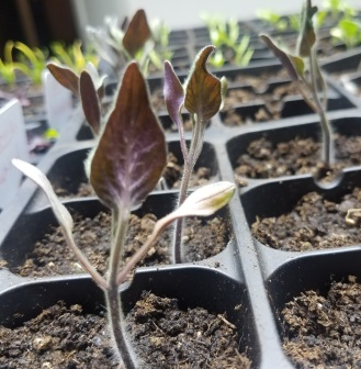 Tomato seedlings with nut def