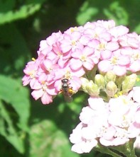 Drone fly on yarrow
