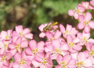 Hover fly on yarrow