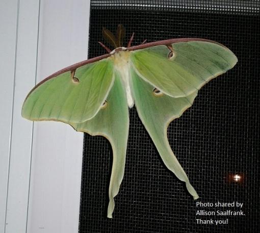 Luna moth A.Saalfrankphoto 6-4-2017