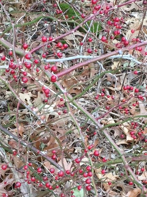 multiflora rose hips