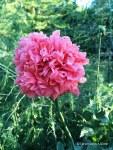 poppy, annual, double –Copy