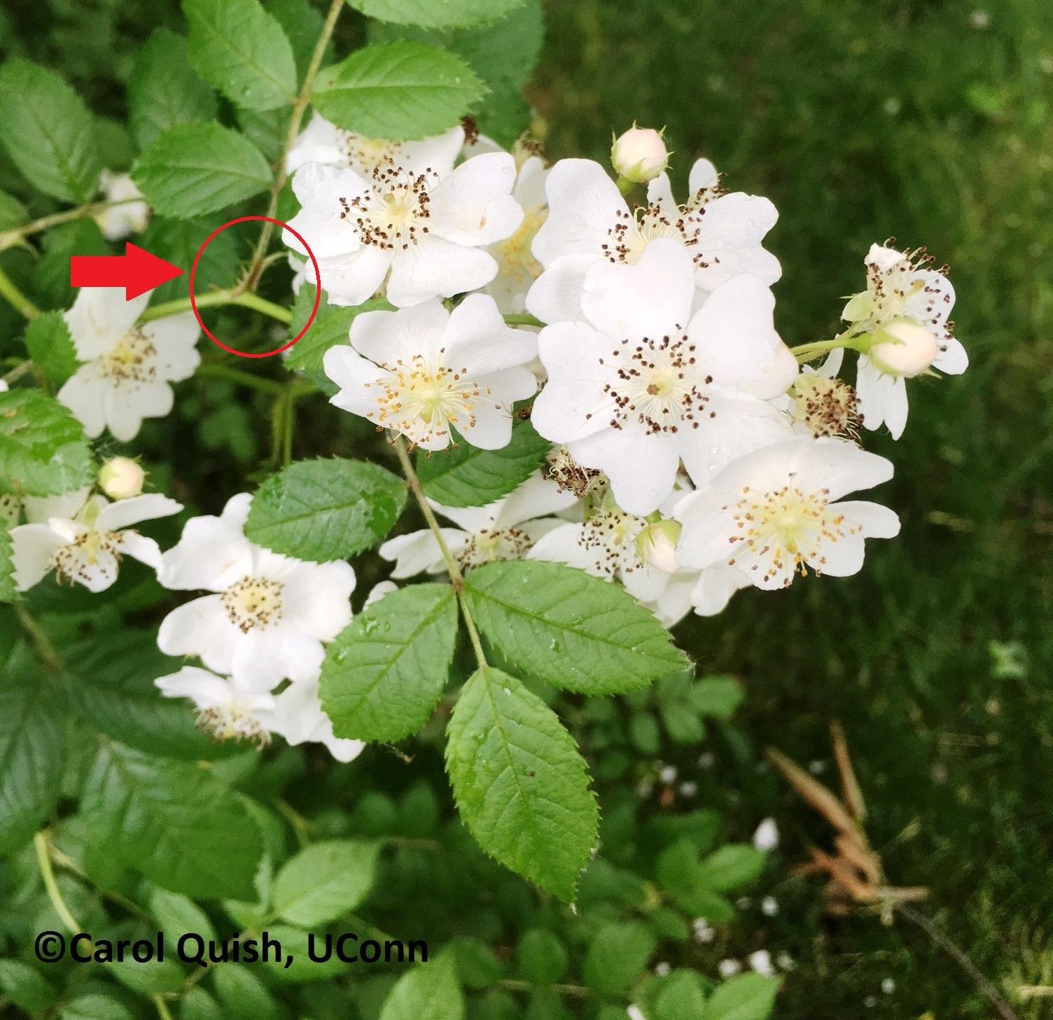 Rose, multiflower, C.Quish