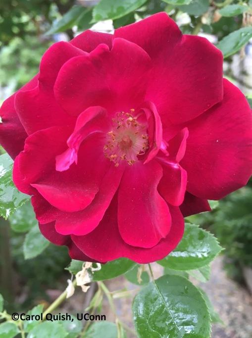 Rose, red climbing-1