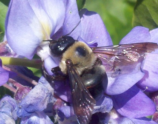 Bee on wisteria bloom.jpg