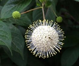 buttonbushflower-farmingtonriver-jallen.jpg