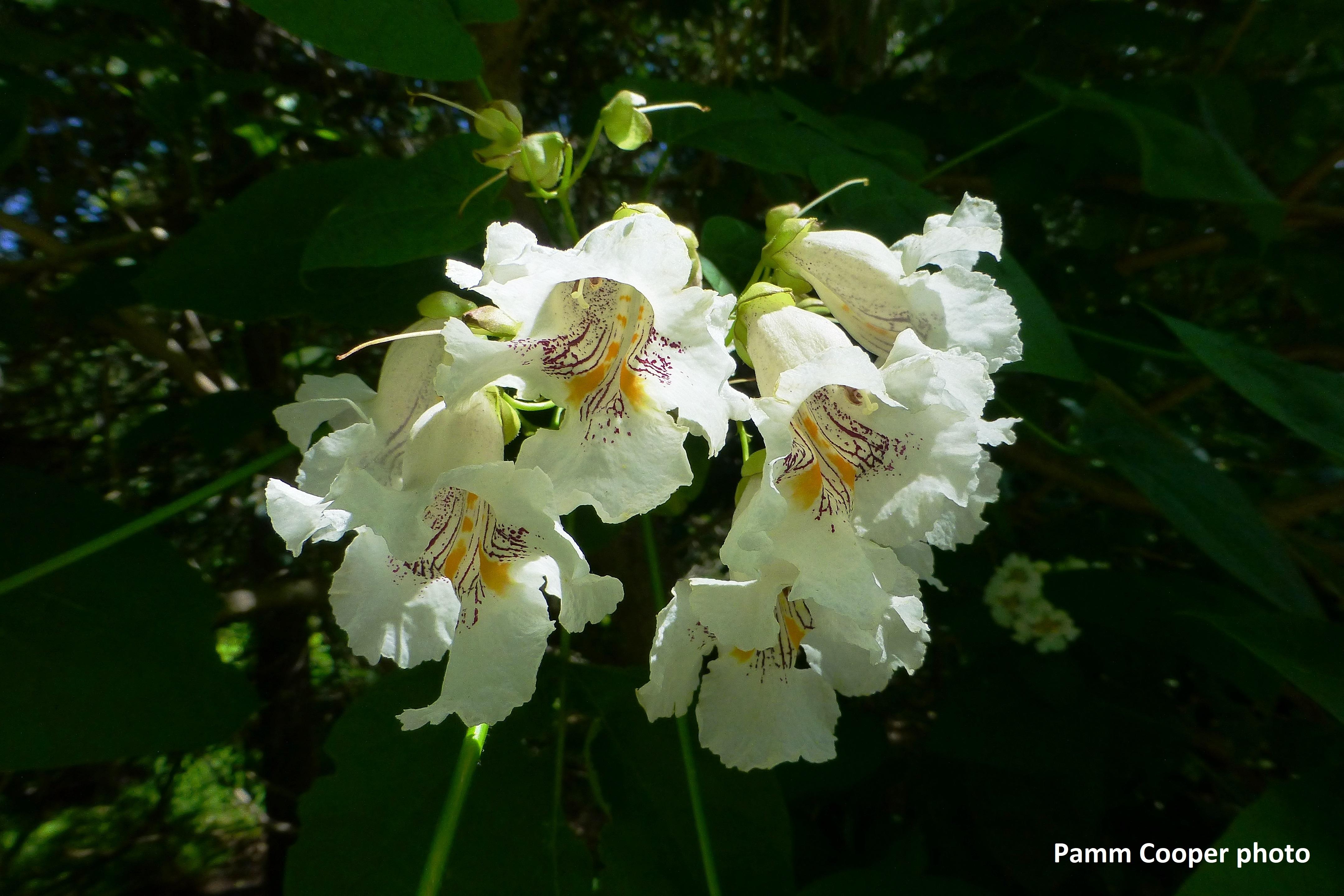 catalpa flowers 6-25-18 Pamm Cooper photo