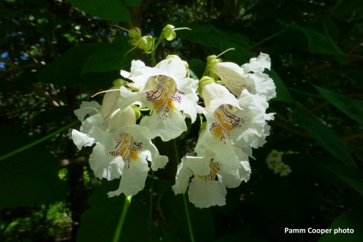 catalpa flowers 6-25-18 Pamm Cooper photo