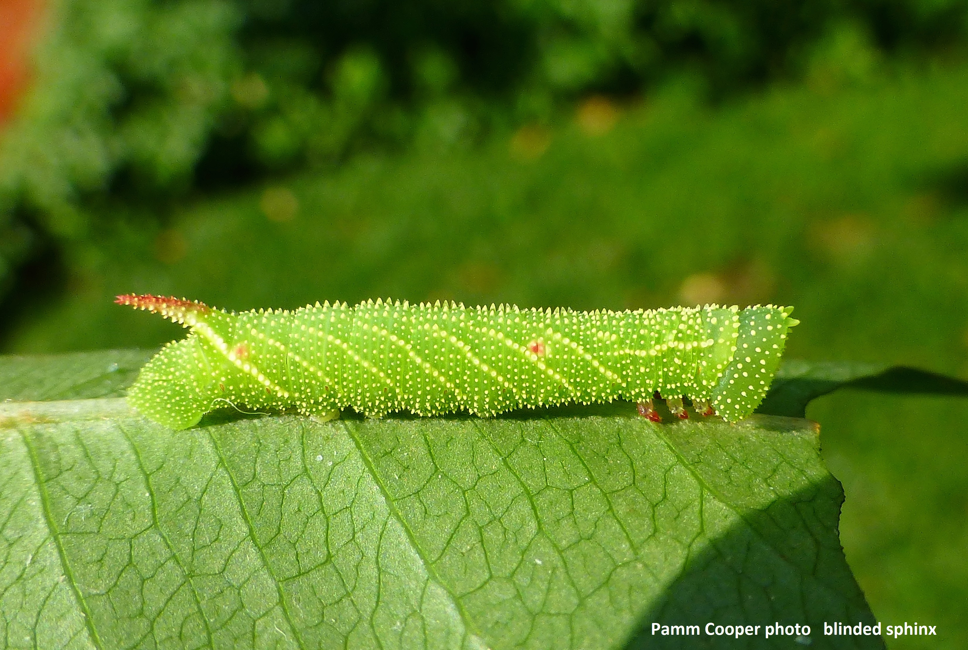 early instar blinded sphinx July 4 2018 Pamm Cooper photo