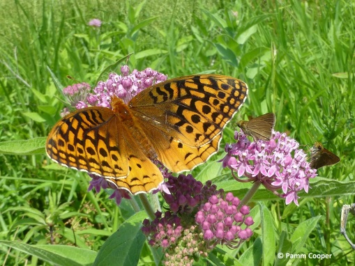 fritillary and skippers 7-11-14 on swamp milkweed