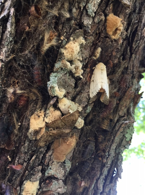 gypsym moth females and egg masses