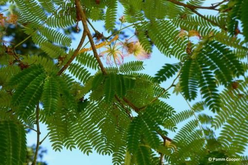 hardy silk tree UConn Wilbur