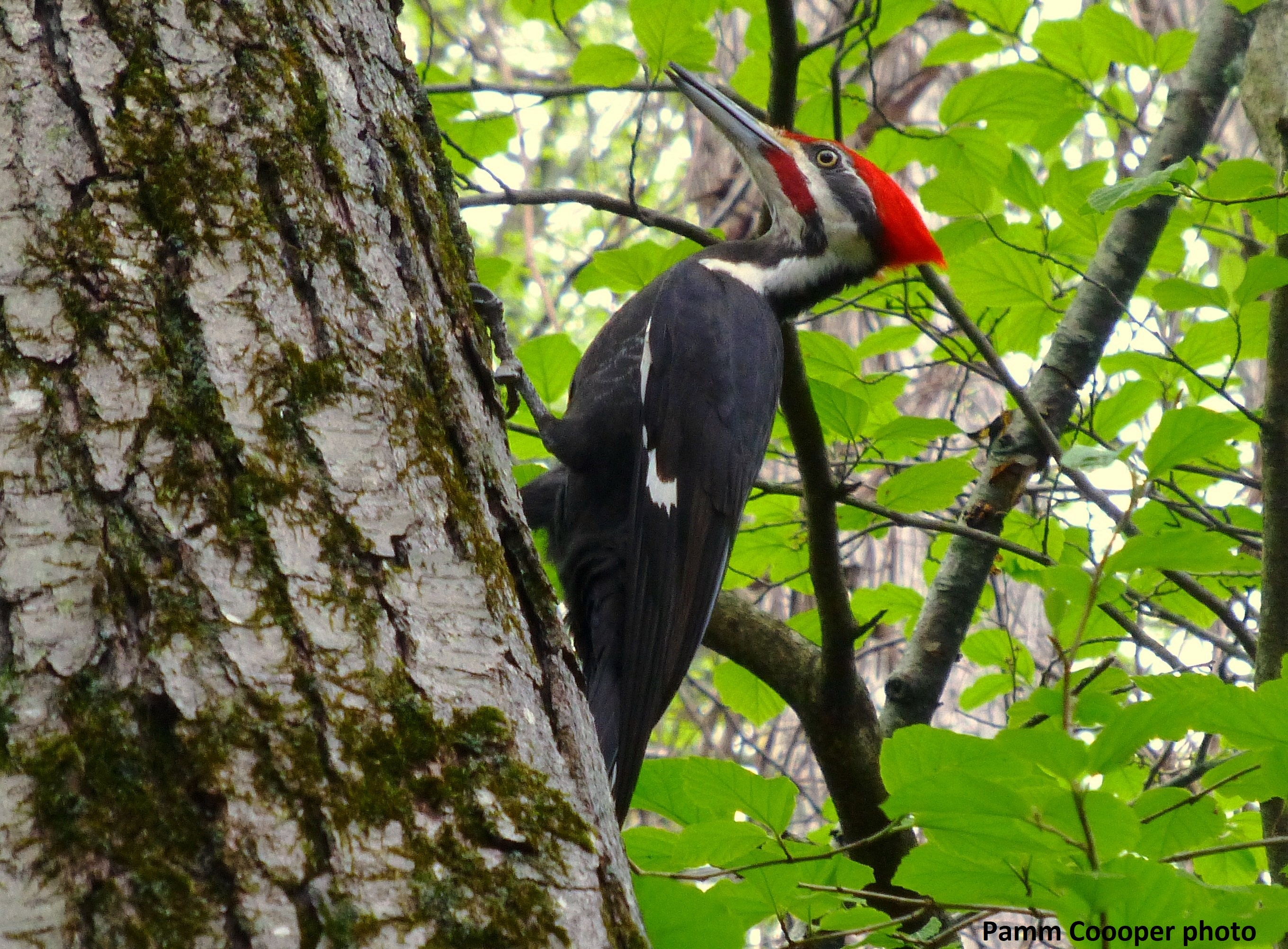 Pileated Case Mountain Pamm Cooper photo
