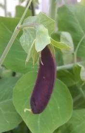 Purple snap pea