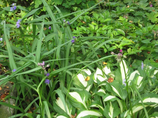 Spiderwort and hosta