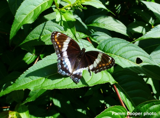 white admiral cross backyard bush honeysuckle 6-30-2018 IIPamm Cooper