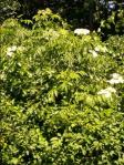 Angelica sylvestris 2