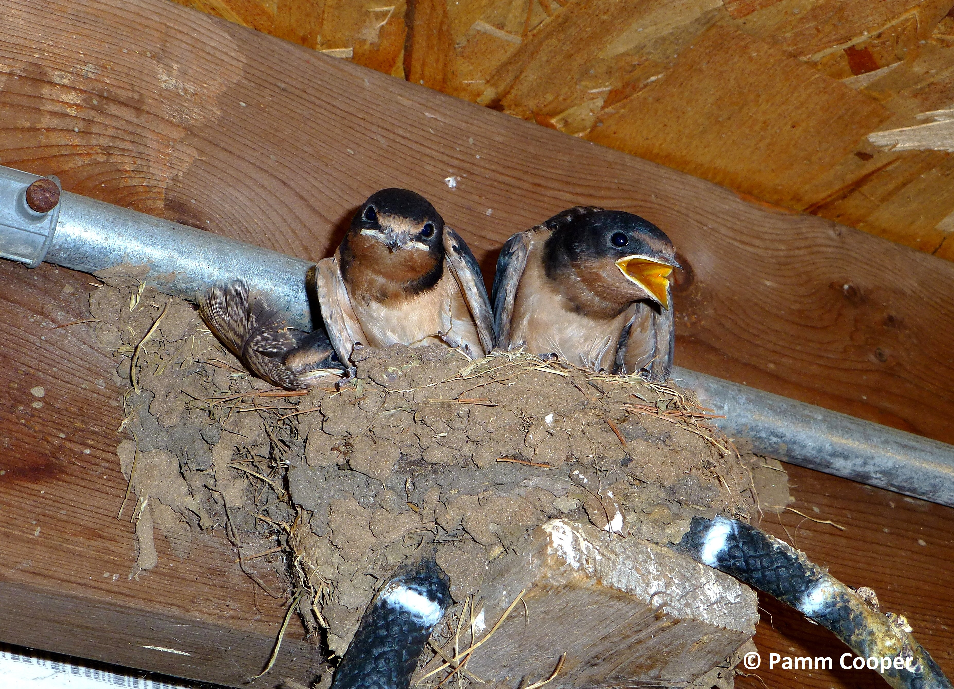 barn swallows ready to leave nest