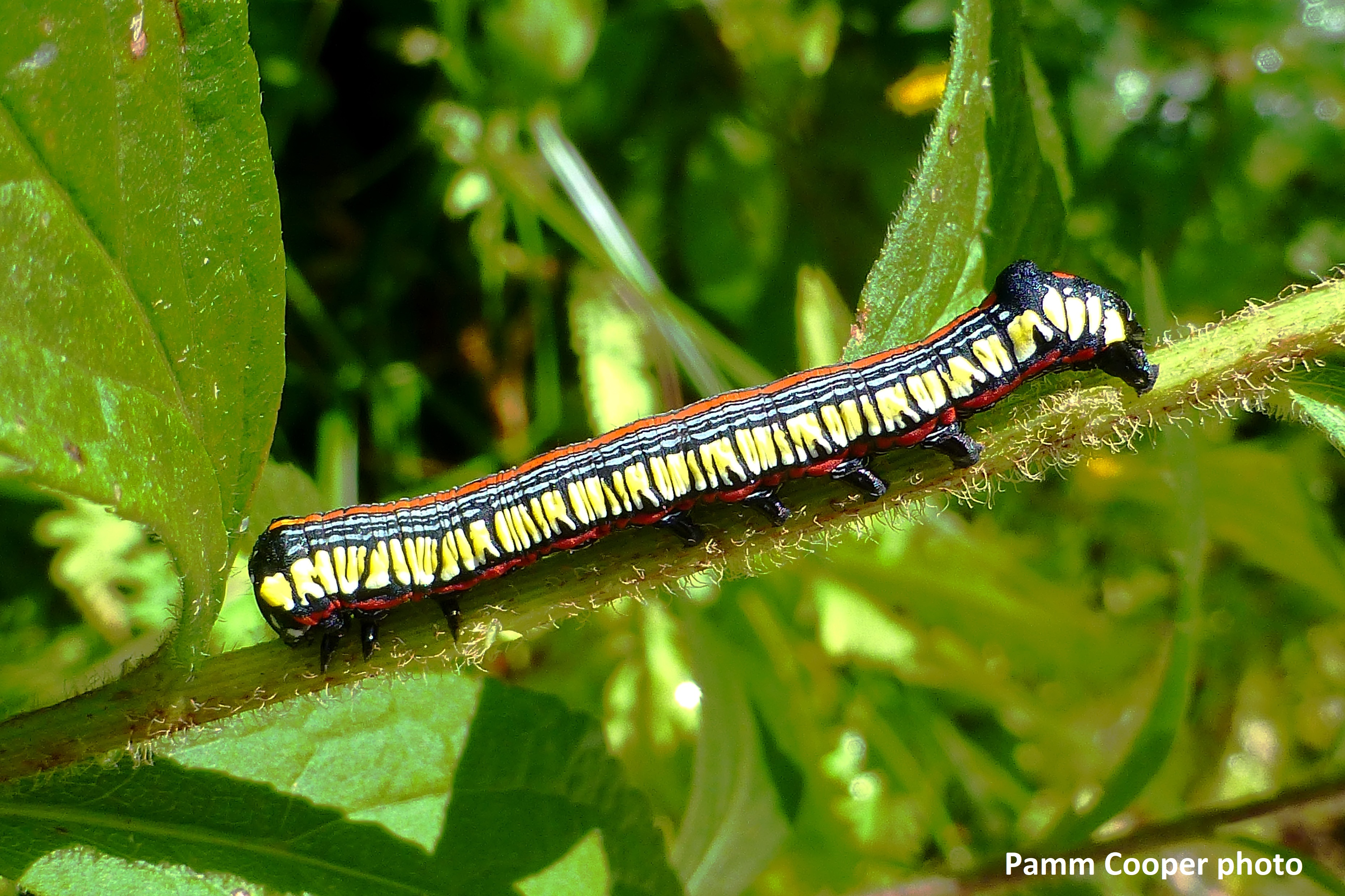 brown-hooded-owlet-caterpillar