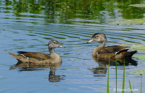 female and male juvenile wood ducks Early August Airline Trail marsh Pamm Cooper photo