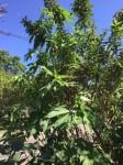 gr plant