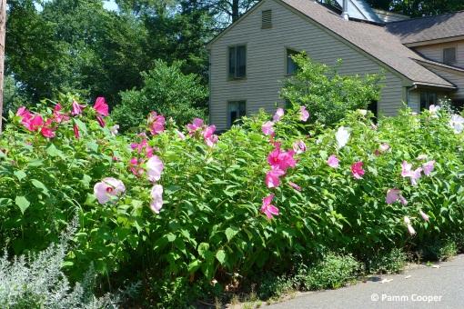 hibiscus border