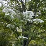 Hogweed_Flower_lookalike-150×150